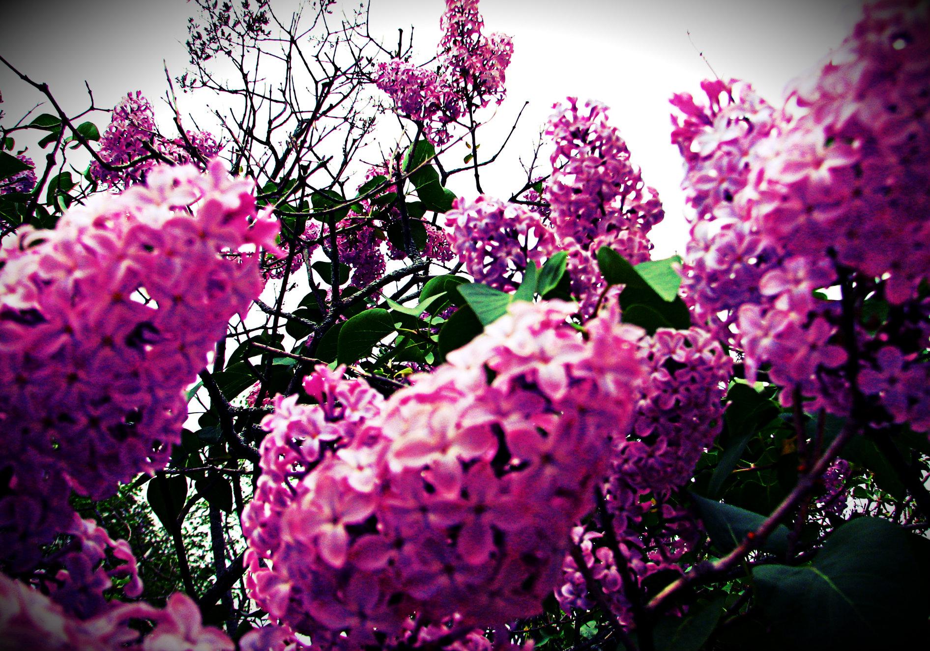 til the lilacs cease 4