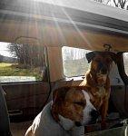 car-dog-3